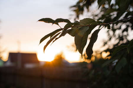 Picture of a large green bush grows near the trees on the sunset background