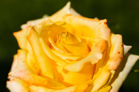 Picture of a rose with a beautiful white color, background 版權商用圖片