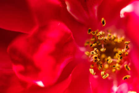 The picture of a large red rose blossomed, the photo from the inside. Wallpaper, background for postcard