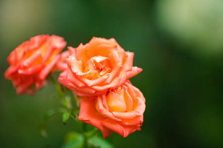 Beautiful lonely rose with large petals grows in the garden 版權商用圖片