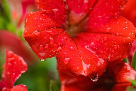 Nature photo of a beautiful petunia flower