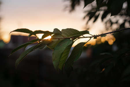 A tree branch in evening sunlight. Close-up of a tree branch with green leaves in evening sunlight against blue sky at sunset.