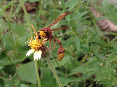 hymenoptera: hornets