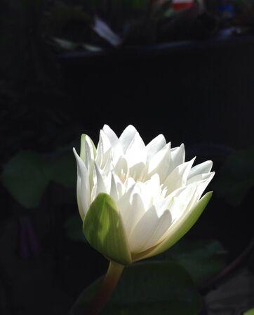 background: Lotus flower background