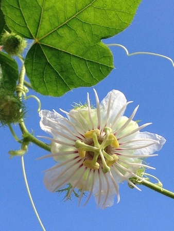 passion flower: White passion flower
