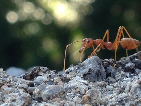 industrieel: Red ant