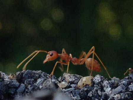 industrial: Red ant