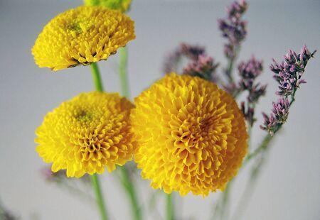 pom pom: Yellow pom pom flower