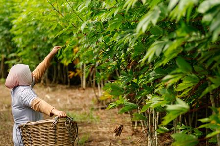 Cassava plantation tended by a farm worker. Zdjęcie Seryjne