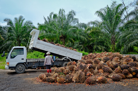 Plantation worker watches as a truck unloads freshly harvested oil palm fruit bunches at a collection point.