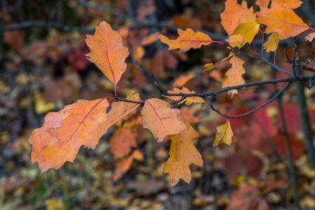 The colors of autumn. Yellow and red foliage in the autumn Park. Yellowed oak leaves