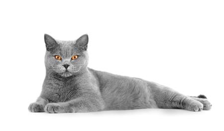 Le chat gris British shorthair se trouve sur un fond blanc. Reposer un animal de compagnie sur l'isolement. Récolte, modèle pour la publicité de la nourriture pour chats