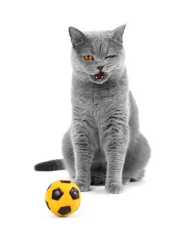 The gray cat of the British breed winks with an open mouth. Cat playing football on a white background close up.