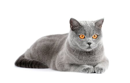 British shorthair gray cat lies on a white background. Resting a pet on isolation. Harvesting, template for advertising cat food Stock Photo