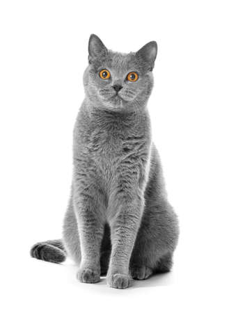 Gray shorthair British cat asks for food on a white background. A beautiful cat advertises food. Purebred Briton sitting on isolation raising his paw