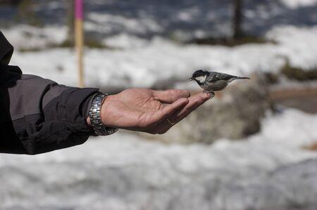 Small passerine bird, Coal tit, (Periparus ater (eating seeds from human hand, Engadine, Switzerland