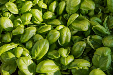 Green leaves of fresh basil, Liguria, Italy Archivio Fotografico