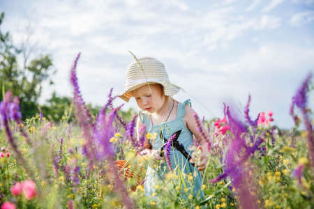A little girl in a panama hat and a blue dress in a summer blooming field gathers sage in a basket with a pruner