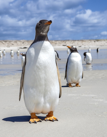Two Gento Penguins one in front one in back in the Falkland Islands  On the North Pond beach, East Falkland Island  photo