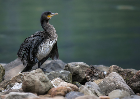 Great Cormorant (Phalacrocorax carbo) is waiting for fishing in Seydisfjordur harbor in Iceland Stock Photo