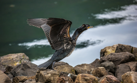 phalacrocoracidae: Great Cormorant takes off for fishing in the port of Seydisfjordur Iceland. Phalacrocorax carbo.