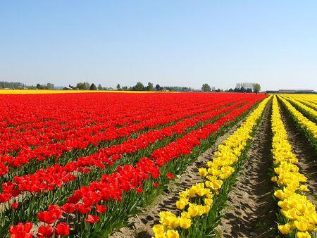 grower: tulip field