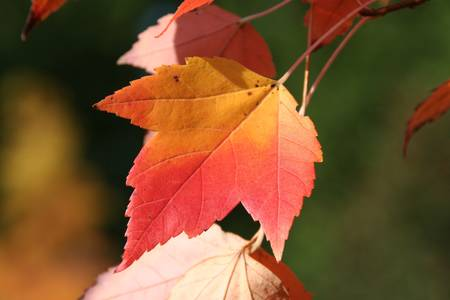 red maple leaf: red maple leaf Stock Photo