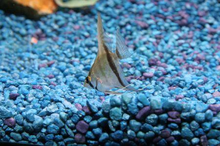 angelfish photo