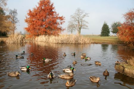 duck: pond and ducks