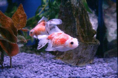 fishy: goldfish Stock Photo