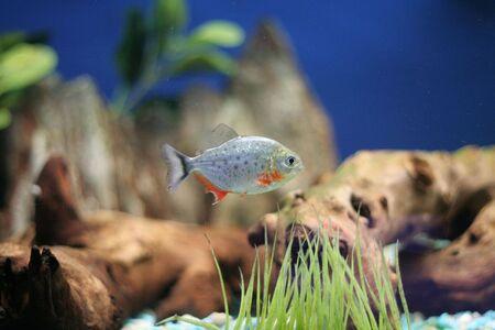 piranha: red bellied piranha Stock Photo