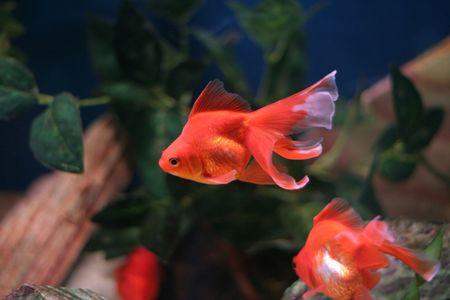 fish tank: goldfish in a fish tank
