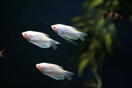 fish tank: tropic fish in a fish tank Stock Photo