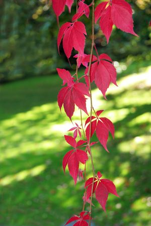 bine: red ivy leaves in fall Stock Photo