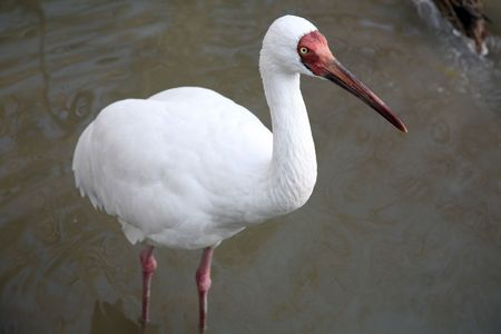 White Ibis is Chinas endangered bird