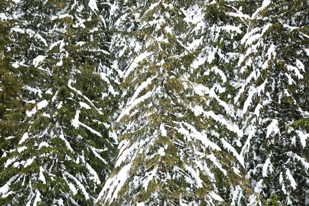 Snowcapped tree, winter landscape in canada vancouver Stock Photo
