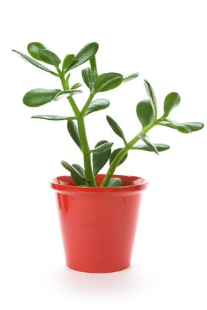 Jade Plant, Chinese Rubber Plant