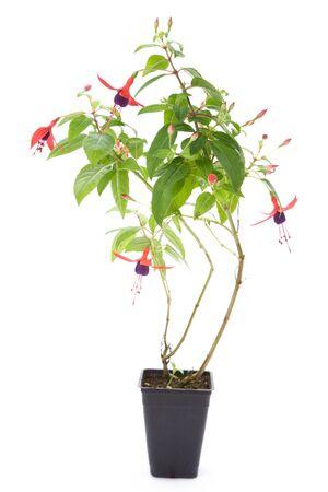 Fuschia flower with white background Stock Photo