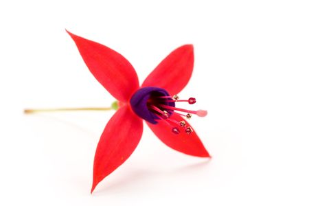 fuschia: Fuschia flower with white background Stock Photo
