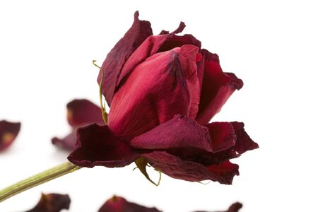 concpet: red dead rose, concpet of lost love Stock Photo