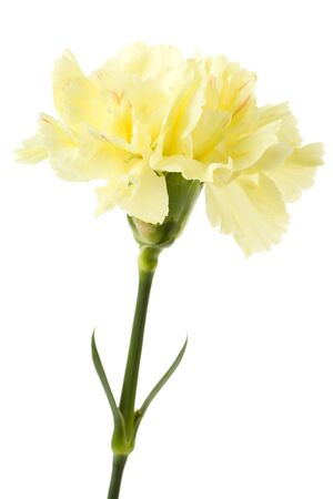 Yellow carnation with white background