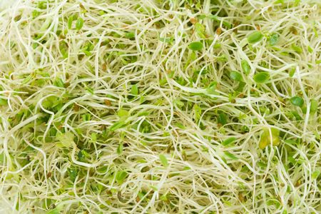 Alfalfa Sprout close up shot