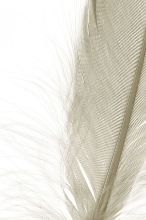 Brown Feather with white background Stock Photo