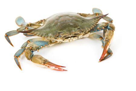 cangrejo: Cangrejo azul con fondo blanco