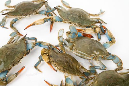 blue crab: Blue Crab with white background