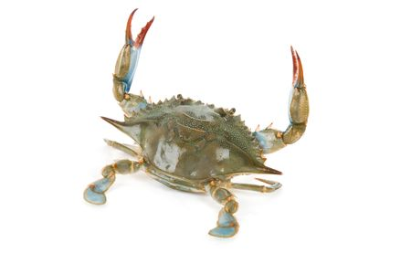 Blue Crab with white background photo