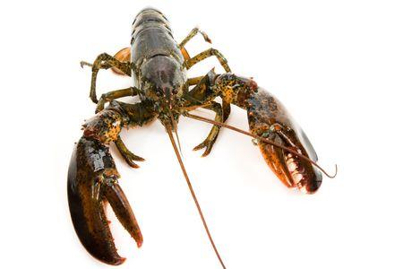 raw lobster: RAW de langosta con fondo blanco Foto de archivo