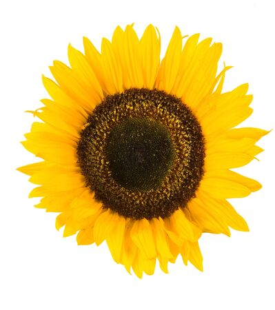 a Sunflower with white background
