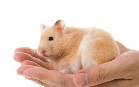 Teddy Bear Hamster with white background