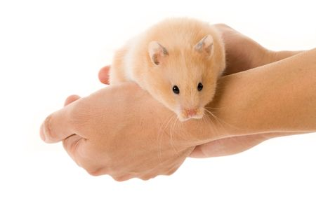Teddy Bear Hamster with white background photo